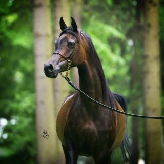 https://www.halsdonarabians.com/core/image.php?src=app/media/uploads/website/10/photos/website_horses/1240/4799_POLAND_0510_1010.jpg&width=320&height=320