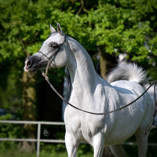 https://www.halsdonarabians.com/core/image.php?src=app/media/uploads/website/10/photos/website_horses/1241/8848_POLAND_0514_1010.jpg&width=320&height=320