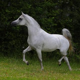 https://www.halsdonarabians.com/core/image.php?src=app/media/uploads/website/10/photos/website_horses/1243/AB6I6646.jpg&width=320&height=320