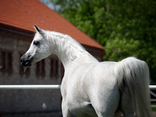 http://www.halsdonarabians.com/core/image.php?src=app/media/uploads/website/10/photos/website_horses/1245/4809_POLAND_0513_810.jpg&width=320&height=240