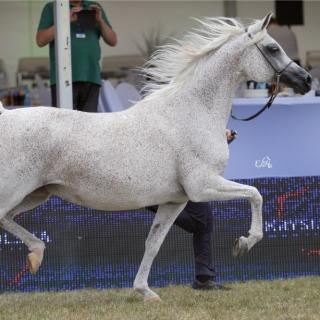 https://www.halsdonarabians.com/core/image.php?src=app/media/uploads/website/10/photos/website_horses/1245/ekspulsja_AKF.jpg&width=320&height=320