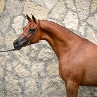 https://www.halsdonarabians.com/core/image.php?src=app/media/uploads/website/10/photos/website_horses/1248/5967_POLAND_0514_1010.jpg&width=320&height=320