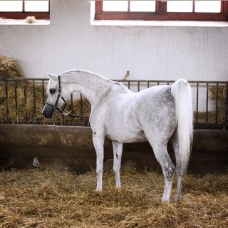 https://www.halsdonarabians.com/core/image.php?src=app/media/uploads/website/10/photos/website_horses/1249/6660_POLAND_0514_1010.jpg&width=320&height=320
