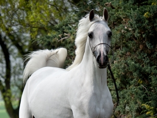 http://www.halsdonarabians.com/core/image.php?src=app/media/uploads/website/10/photos/website_horses/1250/1873_POLAND_0515_1010.jpg&width=320&height=240