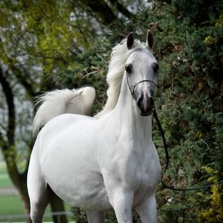 https://www.halsdonarabians.com/core/image.php?src=app/media/uploads/website/10/photos/website_horses/1250/1873_POLAND_0515_1010.jpg&width=320&height=320