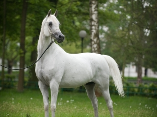 http://www.halsdonarabians.com/core/image.php?src=app/media/uploads/website/10/photos/website_horses/1252/5639_POLAND_0510_1212.jpg&width=320&height=240