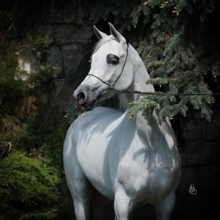 https://www.halsdonarabians.com/core/image.php?src=app/media/uploads/website/10/photos/website_horses/1254/2800_POLAND_0510_1212.jpg&width=320&height=320