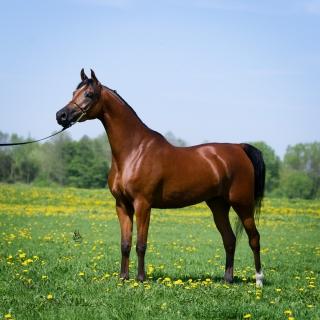 https://www.halsdonarabians.com/core/image.php?src=app/media/uploads/website/10/photos/website_horses/1255/1981_POLAND_0513_1010.jpg&width=320&height=320