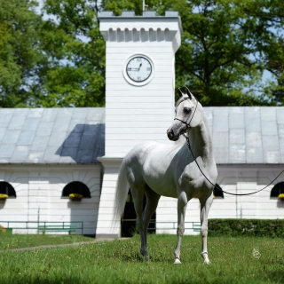 https://www.halsdonarabians.com/core/image.php?src=app/media/uploads/website/10/photos/website_horses/1256/5284_POLAND_0515_1010.jpg&width=320&height=320