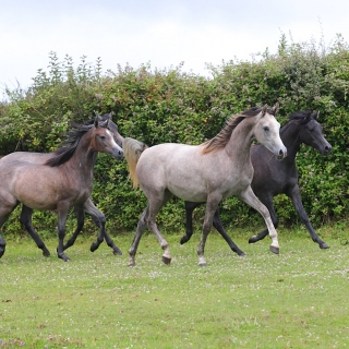 https://www.halsdonarabians.com/core/image.php?src=app/media/uploads/website/10/photos/website_horses/2310/AB6I2895.jpg&width=320&height=320