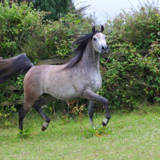 https://www.halsdonarabians.com/core/image.php?src=app/media/uploads/website/10/photos/website_horses/2312/AB6I2557.jpg&width=320&height=320