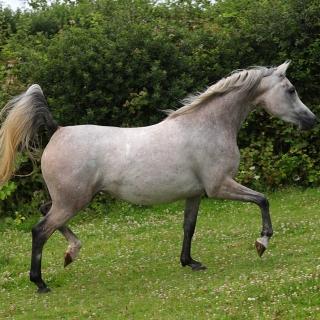https://www.halsdonarabians.com/core/image.php?src=app/media/uploads/website/10/photos/website_horses/2315/AB6I2226.jpg&width=320&height=320