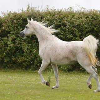 https://www.halsdonarabians.com/core/image.php?src=app/media/uploads/website/10/photos/website_horses/2317/AB6I1752.jpg&width=320&height=320