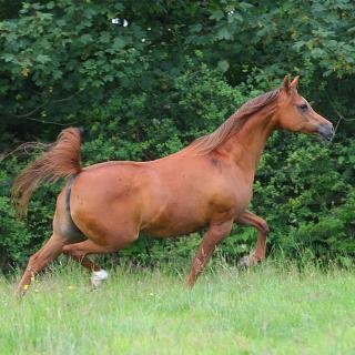 https://www.halsdonarabians.com/core/image.php?src=app/media/uploads/website/10/photos/website_horses/2318/AB6I5662.jpg&width=320&height=320