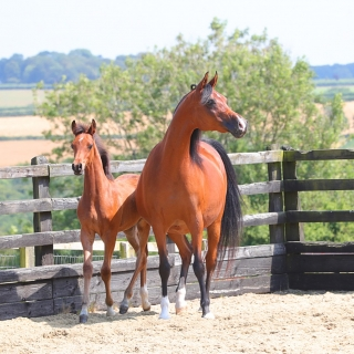 https://www.halsdonarabians.com/core/image.php?src=app/media/uploads/website/10/photos/website_horses/2322/AB6I7722.jpg&width=320&height=320