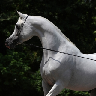 http://www.halsdonarabians.com/core/image.php?src=app/media/uploads/website/10/photos/website_horses/2324/AB6I4754.jpg&width=320&height=320
