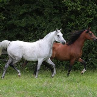 https://www.halsdonarabians.com/core/image.php?src=app/media/uploads/website/10/photos/website_horses/2331/AB6I9647.jpg&width=320&height=320