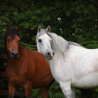 https://www.halsdonarabians.com/core/image.php?src=app/media/uploads/website/10/photos/website_horses/2332/AB6I9737.jpg&width=320&height=320