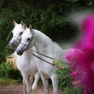 https://www.halsdonarabians.com/core/image.php?src=app/media/uploads/website/10/photos/website_horses/2334/AB6I0562.jpg&width=320&height=320