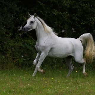https://www.halsdonarabians.com/core/image.php?src=app/media/uploads/website/10/photos/website_horses/2335/AB6I0598.jpg&width=320&height=320
