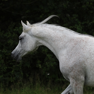 https://www.halsdonarabians.com/core/image.php?src=app/media/uploads/website/10/photos/website_horses/2336/AB6I0933.jpg&width=320&height=320