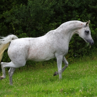 https://www.halsdonarabians.com/core/image.php?src=app/media/uploads/website/10/photos/website_horses/2338/AB6I1028.jpg&width=320&height=320