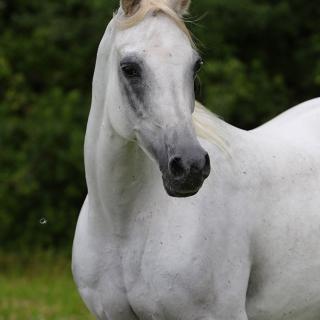 https://www.halsdonarabians.com/core/image.php?src=app/media/uploads/website/10/photos/website_horses/2339/AB6I1288.jpg&width=320&height=320