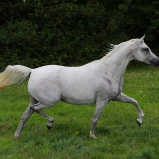 https://www.halsdonarabians.com/core/image.php?src=app/media/uploads/website/10/photos/website_horses/2340/AB6I1350.jpg&width=320&height=320