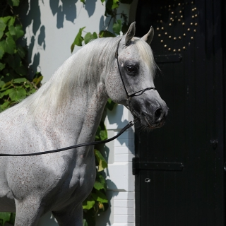 http://www.halsdonarabians.com/core/image.php?src=app/media/uploads/website/10/photos/website_horses/544/AB6I4029.jpg&width=320&height=320