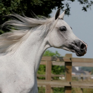 https://www.halsdonarabians.com/core/image.php?src=app/media/uploads/website/10/photos/website_horses/550/Andromeda8187SIGNED.jpg&width=320&height=320