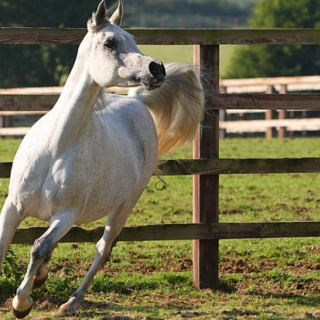 https://www.halsdonarabians.com/core/image.php?src=app/media/uploads/website/10/photos/website_horses/553/heba_b_img5.jpg&width=320&height=320