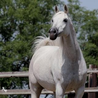 https://www.halsdonarabians.com/core/image.php?src=app/media/uploads/website/10/photos/website_horses/554/Peczora4650_SIGNED.jpg&width=320&height=320