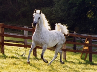 http://www.halsdonarabians.com/core/image.php?src=app/media/uploads/website/10/photos/website_horses/560/baja_img2.jpg&width=320&height=240