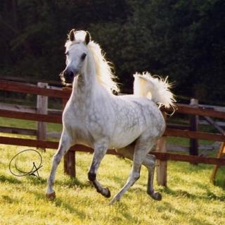 https://www.halsdonarabians.com/core/image.php?src=app/media/uploads/website/10/photos/website_horses/560/baja_img2.jpg&width=320&height=320