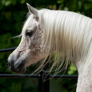 https://www.halsdonarabians.com/core/image.php?src=app/media/uploads/website/10/photos/website_horses/561/cinderella_img2.jpg&width=320&height=320