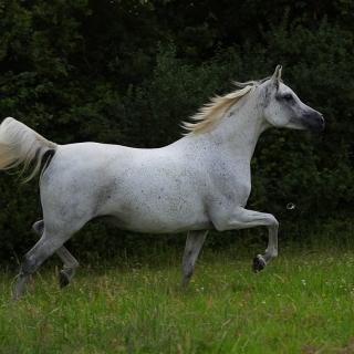 https://www.halsdonarabians.com/core/image.php?src=app/media/uploads/website/10/photos/website_horses/573/AB6I6534.jpg&width=320&height=320