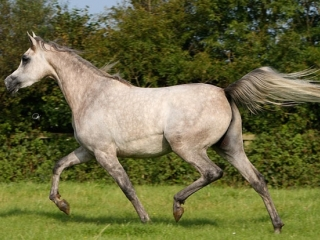 http://www.halsdonarabians.com/core/image.php?src=app/media/uploads/website/10/photos/website_horses/581/shadiyah_img5.jpg&width=320&height=240