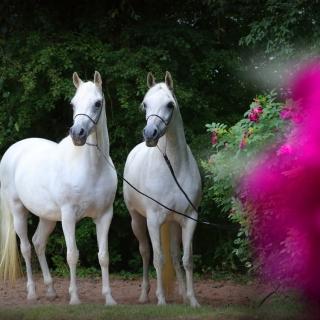 https://www.halsdonarabians.com/core/image.php?src=app/media/uploads/website/10/photos/website_horses/588/AB6I0537.jpg&width=320&height=320