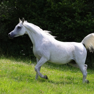 https://www.halsdonarabians.com/core/image.php?src=app/media/uploads/website/10/photos/website_horses/589/AB6I6318.jpg&width=320&height=320