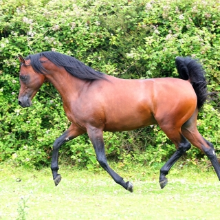 http://www.halsdonarabians.com/core/image.php?src=app/media/uploads/website/10/photos/website_horses/592/AB6I3022.jpg&width=320&height=320
