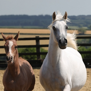 https://www.halsdonarabians.com/core/image.php?src=app/media/uploads/website/10/photos/website_horses/596/AB6I8076.jpg&width=320&height=320