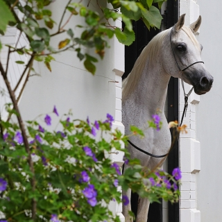 https://www.halsdonarabians.com/core/image.php?src=app/media/uploads/website/10/photos/website_horses/598/AB6I5215.jpg&width=320&height=320