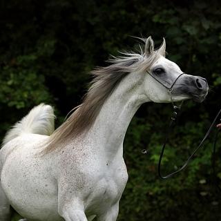 https://www.halsdonarabians.com/core/image.php?src=app/media/uploads/website/10/photos/website_horses/599/AB6I5904.jpg&width=320&height=320