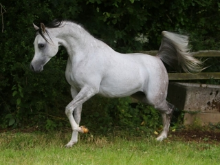 http://www.halsdonarabians.com/core/image.php?src=app/media/uploads/website/10/photos/website_horses/601/A46Q5158.jpg&width=320&height=240