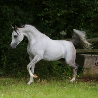 https://www.halsdonarabians.com/core/image.php?src=app/media/uploads/website/10/photos/website_horses/601/A46Q5158.jpg&width=320&height=320